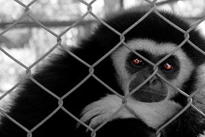 Sadness of Gibbons was imprisoned