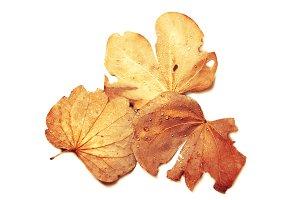 isolated autumn of leaf