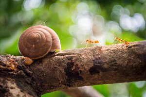Orange ants with snail