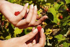 Senior woman picking raspberries in the garden