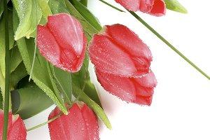 Magenta Tulips