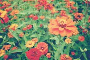 Red, orange zinnia flowers