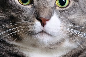 closeup of a huge cat