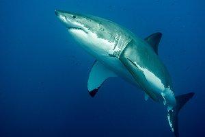 Big Great White Shark