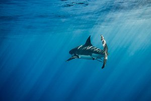 Great White Shark back view