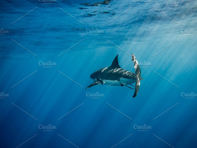 great white shark back view animal photos creative market great white shark back view animals