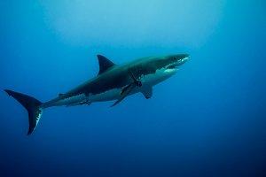 Great White Shark in the blue ocean