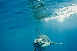 Great White Shark four fings