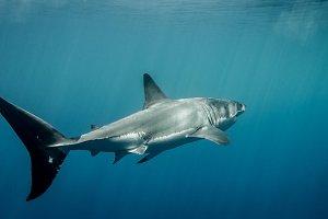 Great White Shark caudal fin