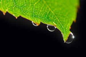 dew drops on green leaf isolated on black