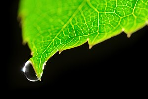 dew drop on green leaf isolated on black