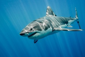 Great White Shark in the big blue