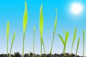fresh grass against a sunny sky