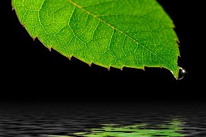 water drop on green leaf isolated on black