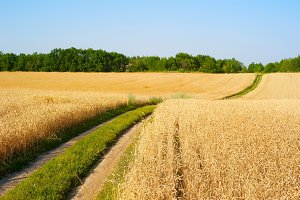 Lane through the wheat field