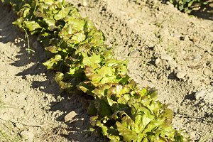 vegetable crops with lettuces