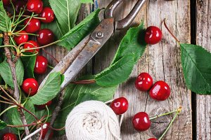 Bunch of cherry tree with scissors a