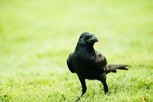 Black Crow_2