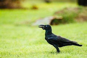 Black Crow_3