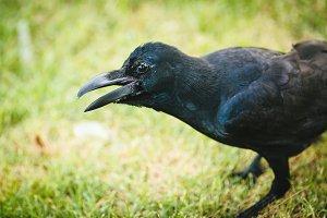 Black Crow_4