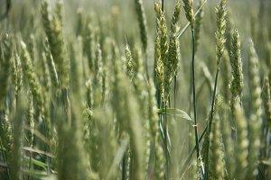 RAW_Virginia Wheat