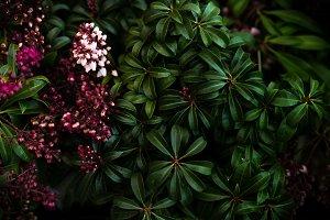 Shrub Pieris japonica flowers