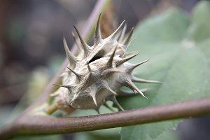 Datura Seed Pod, Open