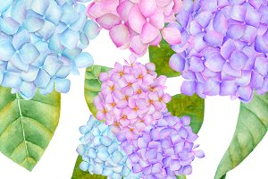 Hydrangea watercolor illustration