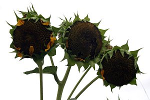 sunflowers with seeds