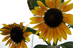 mature sunflowers