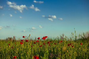 Poppies field and sky