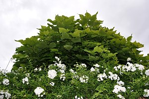 catalpa and edge with flowers