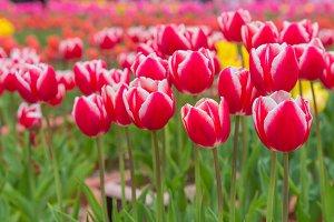beautiful tulips flower in garden.
