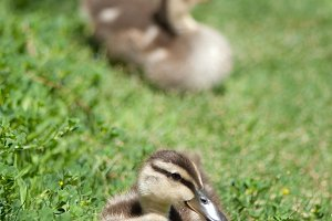 Ducks on Grass 1