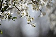 White sakura cherry flowers