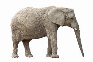 Large African elephant