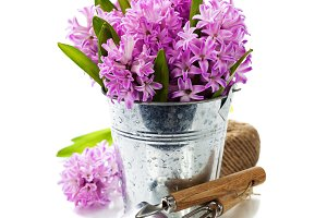 Beautiful Hyacinths in vase