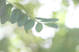 Leafs of Robinia