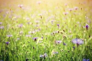 Field full of blue centaury flowers.