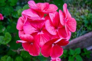 Geranium pink flower