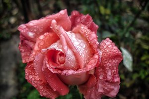 Rose red flower drops