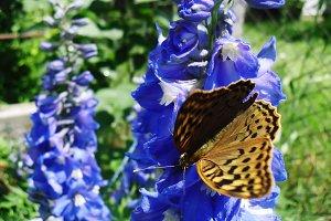 Butterfly larkspur flower blue
