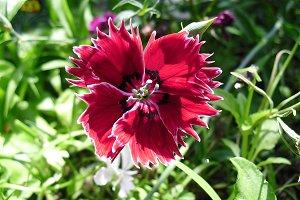 Red turkish carnation flower