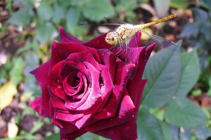 Dragonfly insect rose red flower