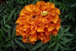 Carnation spider orange flower