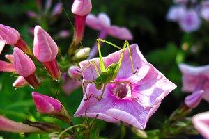 Grasshopper insect phlox flower