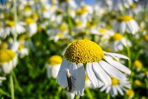 Chamomile mole yellow flower