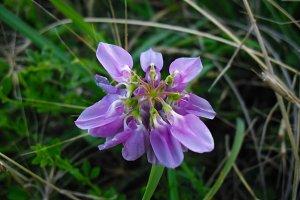 Forest flower wild peas violet