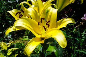 Lily yellow flower