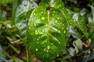 Leaf of lemon green drops